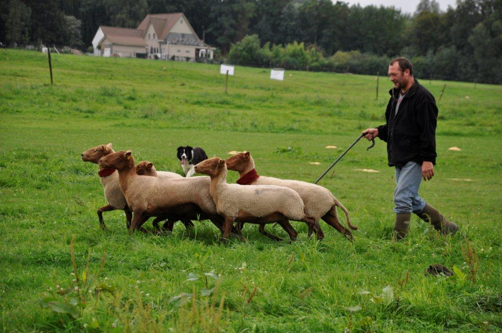 schapen drijven met hond